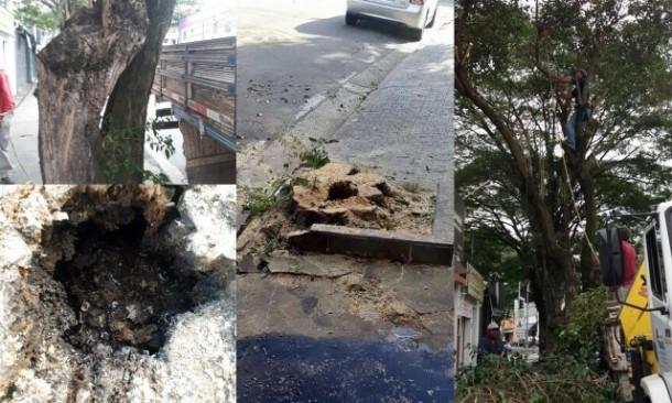 Prefeitura de Taboão da Serra encaminhou fotos mostrando que a árvore estava oca. Na tarde de ontem, o Taboão em Foco registrou o momento da corte.