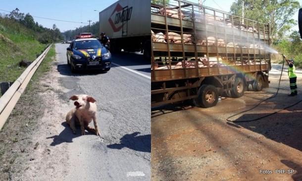 PRF resgata porco que caiu na estrada e outros animais tiveram que ser molhados para amenizar o calor.